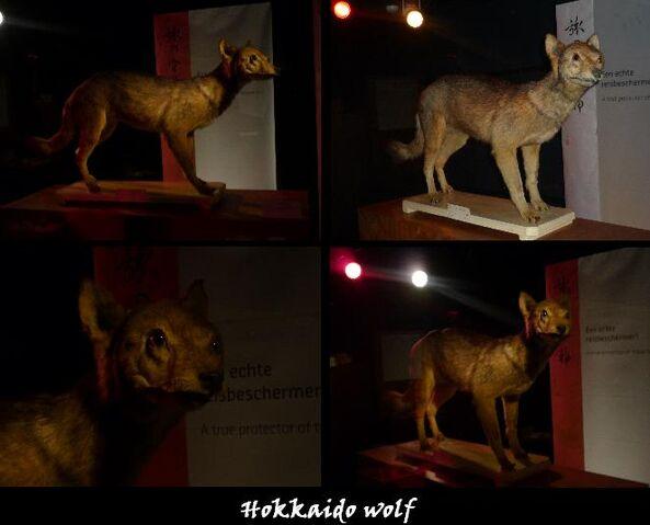 File:Hokkaido wolf photos by DiardiWolf123.jpg