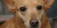 (Indian) Pariah Dog