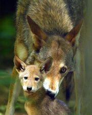 Redwolffreeuse