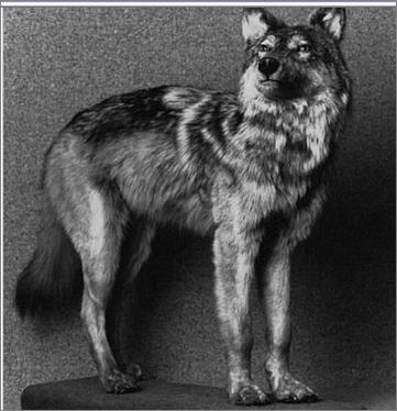 File:Newfoundlandwolf.png