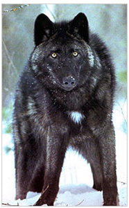 File:Bcwolf.png
