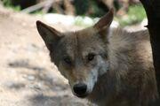 Mongolian Wolf 6 by whitewolffighter