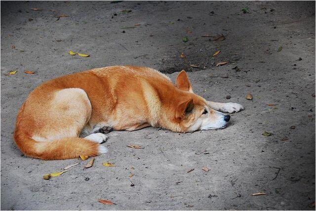 File:Caninefreeusedingo.jpg