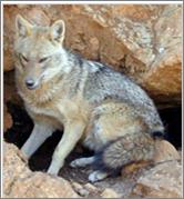 File:Asiaticgoldenjackal.png