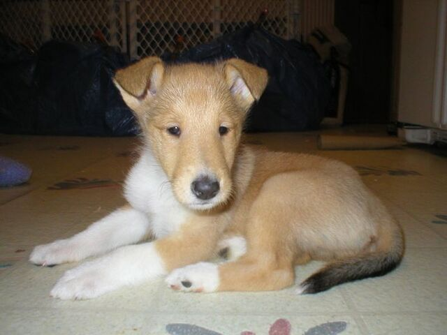 File:Smooth collie pup.jpg