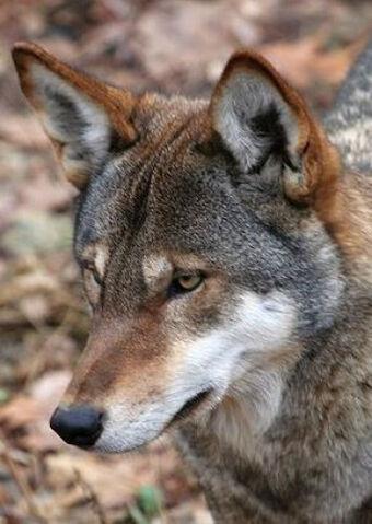 File:Wolf Coyote hybrid.jpg