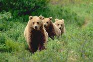 Cute three-little-bears bear facts bear attacks bear species bears of USA Bears Australia bears Canada bears France bears Europe bears beautiful amazing animal attacks news picture