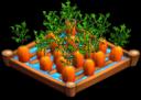 CarrotsIrrigated 01