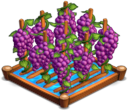 GrapesIrrigated 02