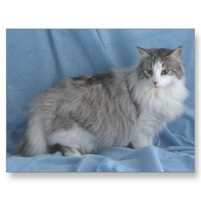Silver tabby and white norwegian forest cat postcard-p239524839489590508qibm 400