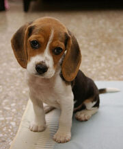 Cute-puppy-dog-face-awesome-pics