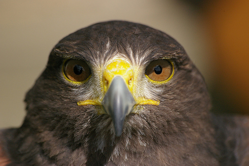 File:Hawk is watching.jpg