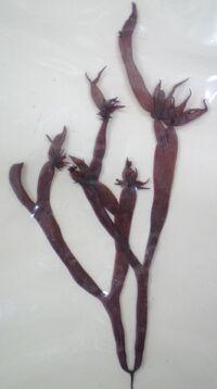 Gloiopeltis furcata.JPG