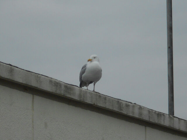 File:Seagull on a roof.jpg