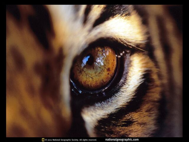 File:Bengal-tiger-eye-512765-sw.jpg