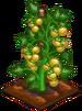 Crop-Yellow Tomato