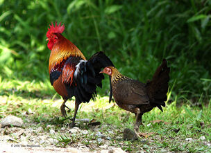 Red jungle fowl rooster and hen walking away