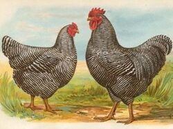 Barred rock reference