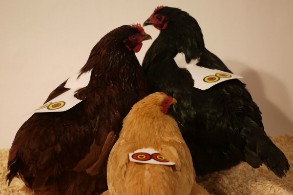File:Chickenposesmall.jpg
