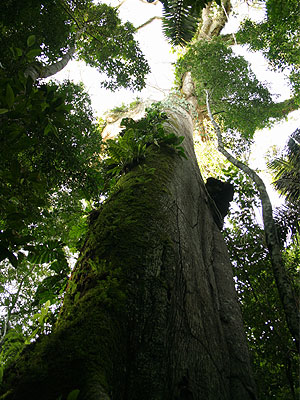 File:Lupuna tree.jpg