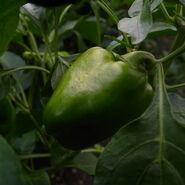 Piiman green pepper-garden