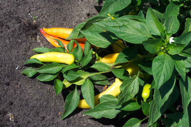 File:Ripe Banana Pepper Plant.jpg