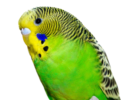 File:Budgie.png