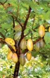 File:Cocoa tree.PNG