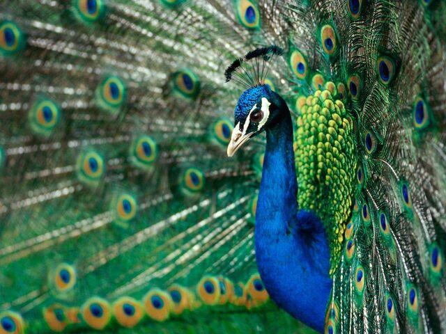 File:Peacock-animals-28816217-1600-1200.jpg