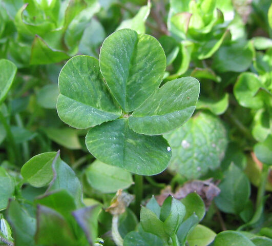 File:Four-leaf clover.jpg