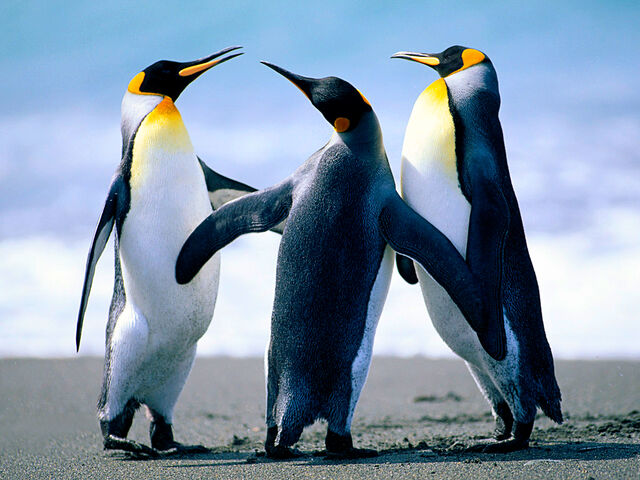 Datei:Penguins.jpg