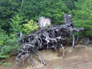 File:300px-Gnarled stump.jpg