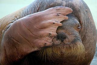 File:MediaWiki Emoticons Walrus Facepalm.jpg