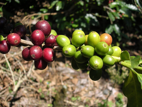 File:Coffeecherry.jpg