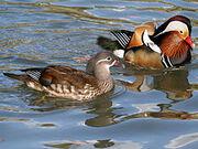 File-Mandarin Duck (Aix galericulata ) RWD3