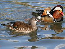 File:File-Mandarin Duck (Aix galericulata ) RWD3.jpeg