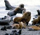 Lobo marino sudamericano