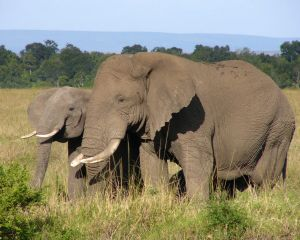File:1024261 african elephant.jpg