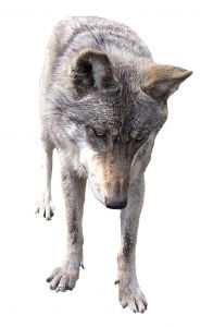 File:784774 wolf.jpg