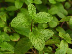 File:754827 mint leafs 2.jpg
