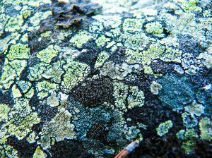 1044801 lichen 2