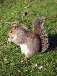 File:951353 eastern gray squirrel.jpg