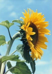 318597 sunflower