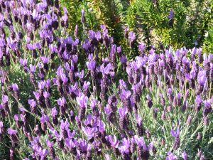File:1005728 lavender.jpg