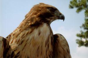 File:811270 eagle.jpg
