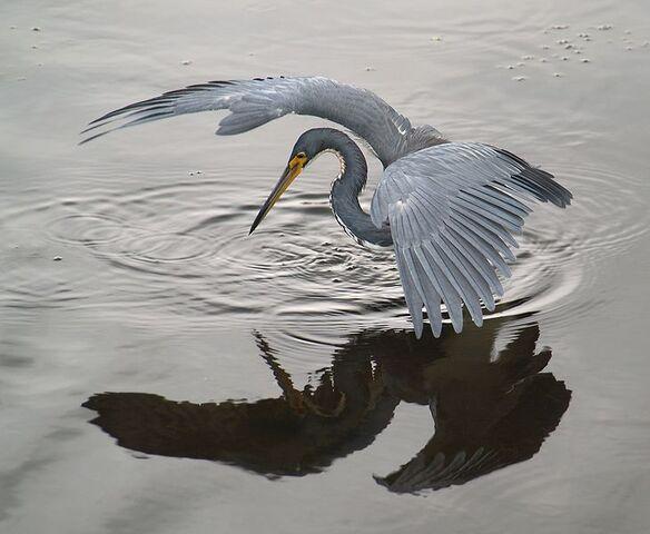 File:Heron.jpg