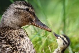 File:Duck 1.jpg