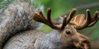 Squirrel-Moose