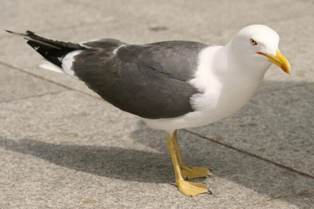 File:Seagull41.jpg