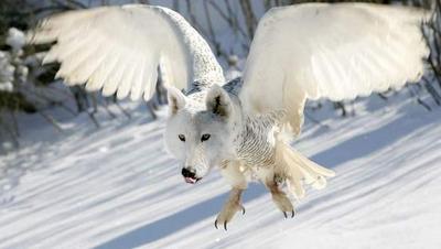 FOX OWL